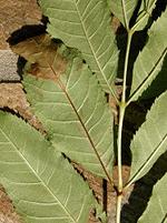 Ash Tree with Chalara
